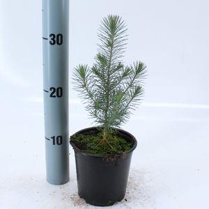 Pinus pinea (About Plants Zundert BV)