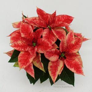 Euphorbia pulcherrima HOVARIA SUPERNOVA