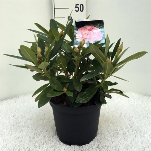 Rhododendron 'Percy Wiseman' (Floribras Garden Plants)