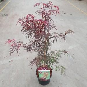 Acer palmatum 'Garnet' (Van Son & Koot BV)