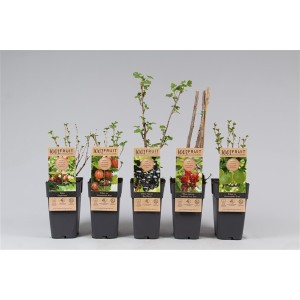 Rubus MIX