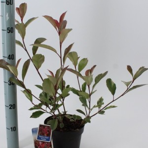 Photinia x fraseri LOUISE (About Plants Zundert BV)
