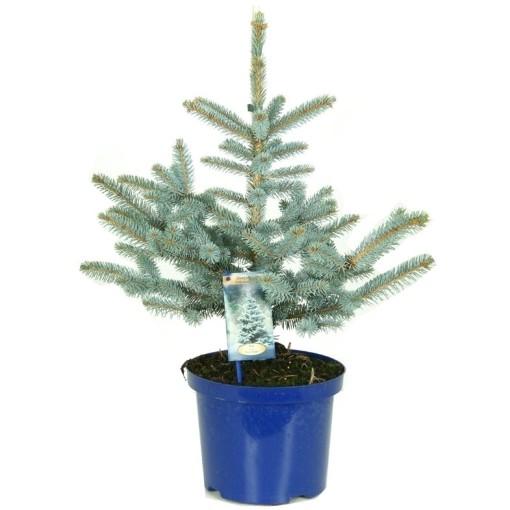 Picea pungens 'Erich Frahm' (Vredebest, Kwekerij )
