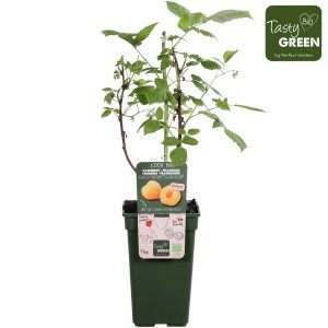 Rubus idaeus TWOTIMER SUGANA YELLOW