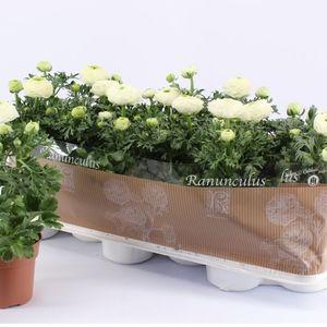 Ranunculus asiaticus 'Sprinkles White' (Kwekerij Montis Zuidplas B.V.)