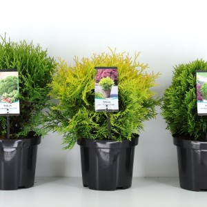 Thuja occidentalis MIX