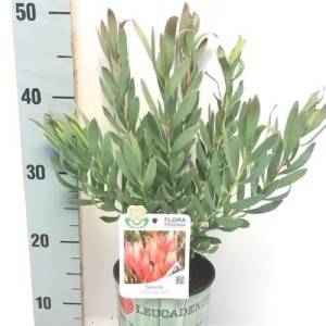 Leucadendron 'Senorita' (Flora Toscana)