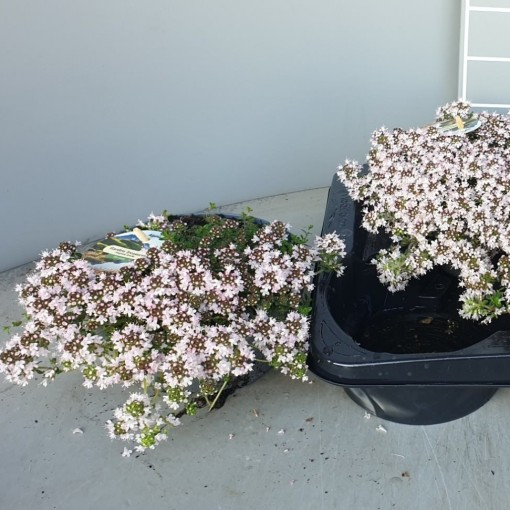 Thymus praecox 'Vey' (Leeuw-den Engelsen)