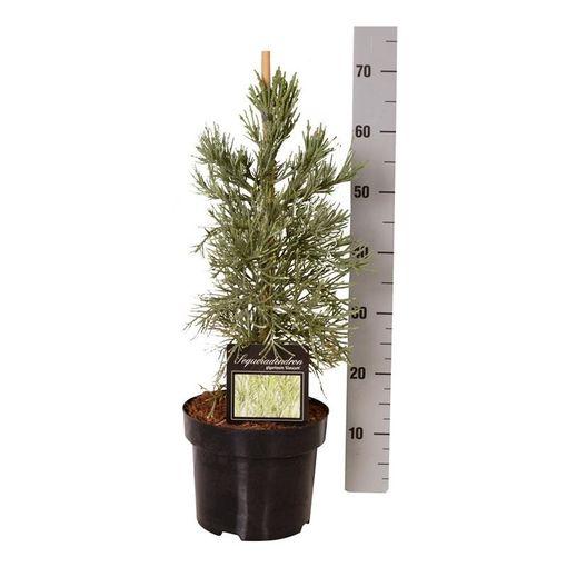 Sequoiadendron giganteum 'Glaucum' (Boomkamp Boomkwekerijen B.V.)