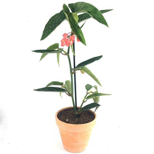 Begonia maculata (Gasa DK)
