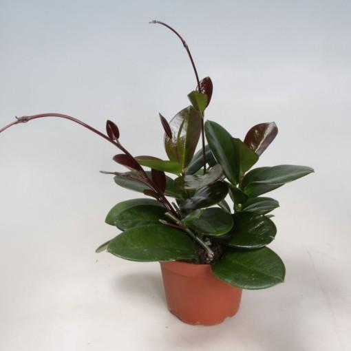 Hoya australis (Gasa DK)