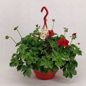 Pelargonium MARCADA DARK RED