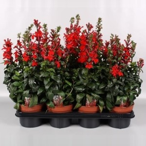 Lobelia 'Fan Scarlet' (Endhoven Flowering Plants)