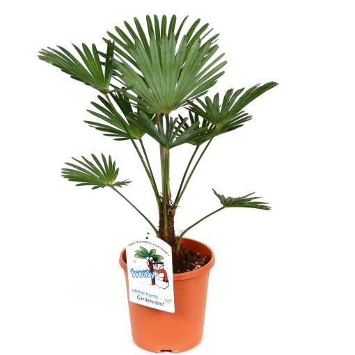 Trachycarpus wagnerianus (Bental)