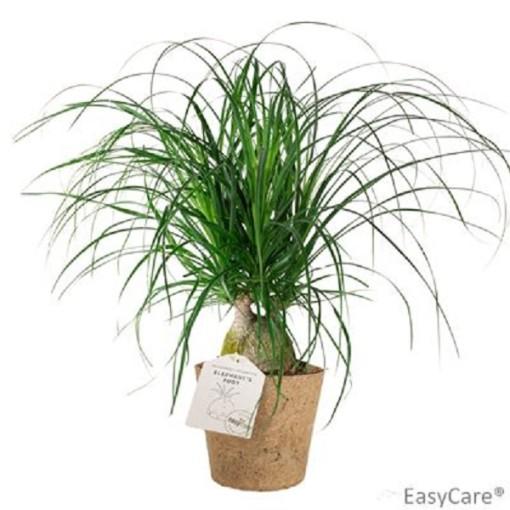 Beaucarnea recurvata (Gasa DK)