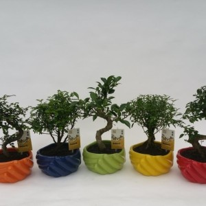 Bonsai MIX (M&M Garden)
