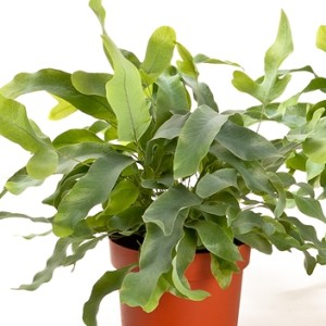 Phlebodium aureum 'Blue Star' (Bunnik Plants)