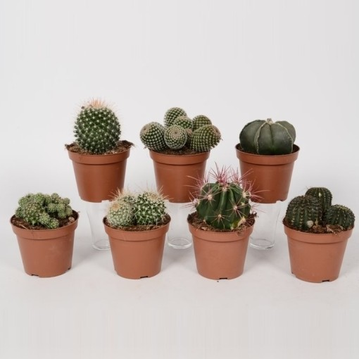 Cacti MIX (Bunnik Plants)