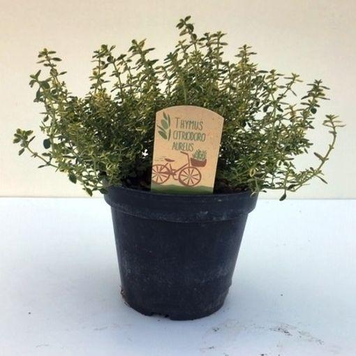 Thymus x citriodorus 'Aureus' (Green Collect Sales)