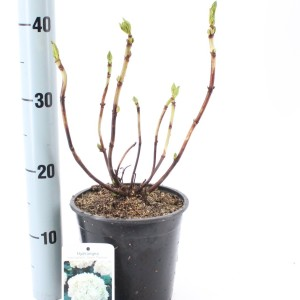 Hydrangea macrophylla 'Soeur Thérèse'
