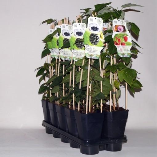 Rubus MIX (BOGREEN Outdoor Plants)