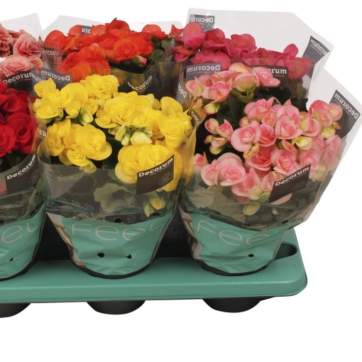 Begonia ELIATOR MIX (J&P Ten Have BV)