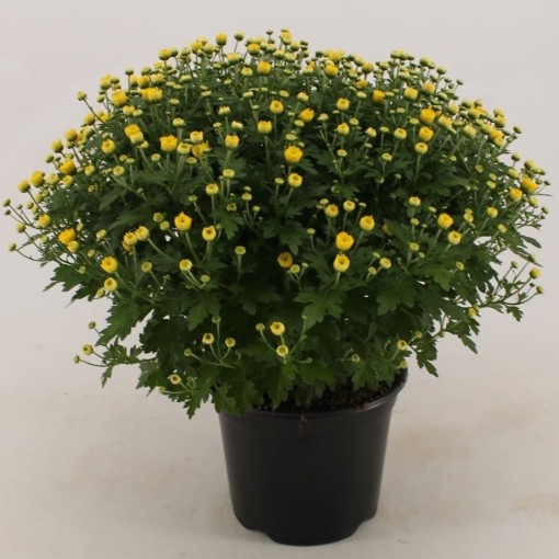 Chrysanthemum 'Jasoda Dark Yellow' (Bas van der Wilt)