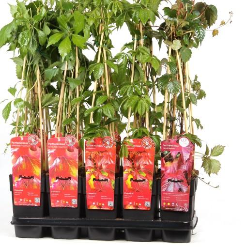 Parthenocissus MIX (Hoogeveen Plants)