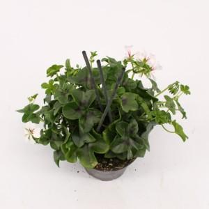 Pelargonium GLACIER WHITE