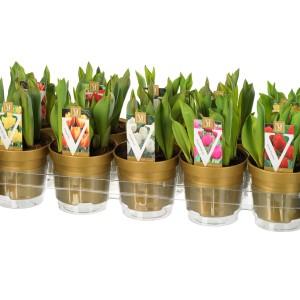 Tulipa MIX (J.H van der Vossen B.V.)