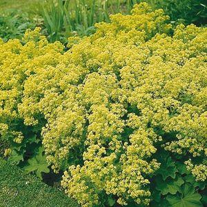 Alchemilla mollis (Gebr. Griffioen)