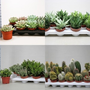 FA Cacti-Succulents SELECTION #174