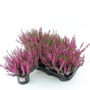 Calluna vulgaris GARDEN GIRLS AMETHYST (About Plants Zundert BV)