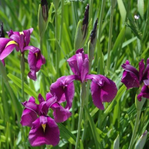 Iris versicolor (van der Velde Waterplanten BV)