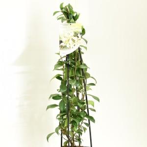 Trachelospermum jasminoides 'White Wings'