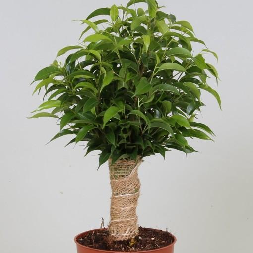 Ficus benjamina (Groot BV, Kwekerij J. de )