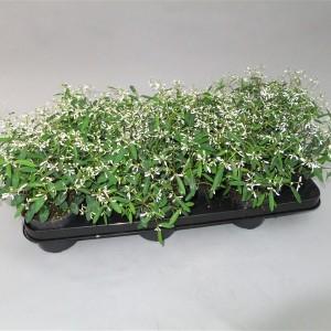 Euphorbia DIAMOND FROST (Gebr. Grootscholten)