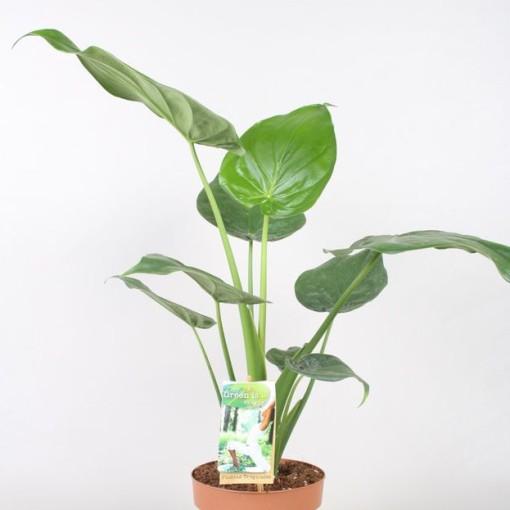 Alocasia cucullata (Vireõ Plant Sales)