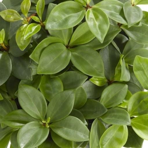 Peperomia pereskiifolia (Schoenmakers Tropische Potcultures)