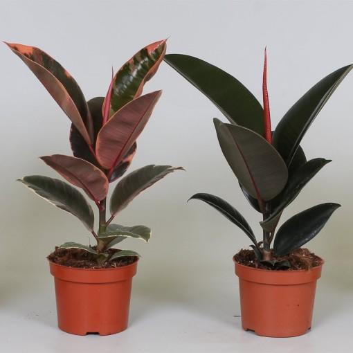 Ficus elastica MIX (Groot BV, Kwekerij J. de)