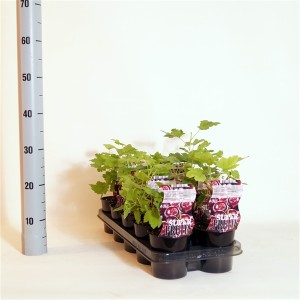 Ribes JOSTABERRY (BOGREEN Outdoor Plants)