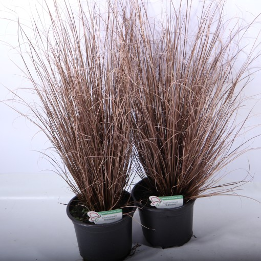 Carex buchananii RED ROOSTER (Experts in Green)