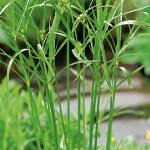Cyperus haspan 'Viviparus' (Moerings Waterplanten)