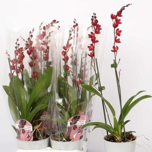 x Howeara Lava Burst (Lansbergen Orchids)
