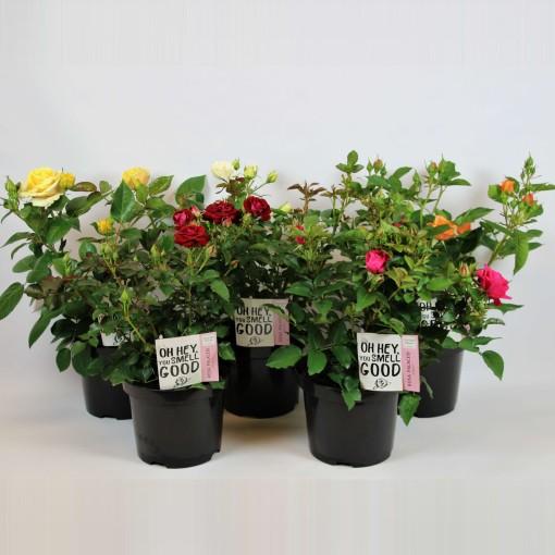 Rosa PALACE MIX (Rijnbeek Boomkwekerijen B.V.)