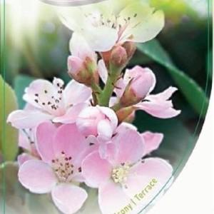 Rhaphiolepis indica 'Pink Cloud' (Dool Botanic)