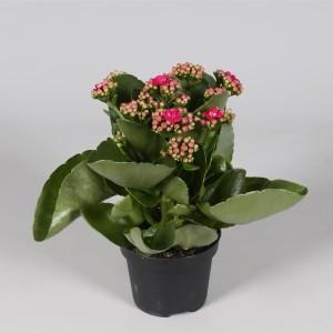 Kalanchoe blossfeldiana CALANDIVA MIX (Amarantis)