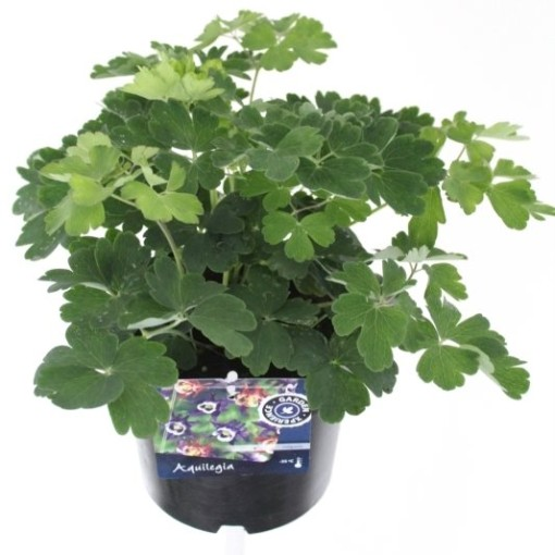 Aquilegia vulgaris WINKY BLUE WHITE (Noordpoel, Kwekerij de)