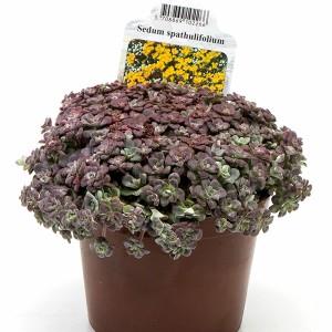 Sedum spathulifolium 'Purpureum' (Gasa DK)
