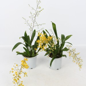 Oncidium TWINKLE MIX